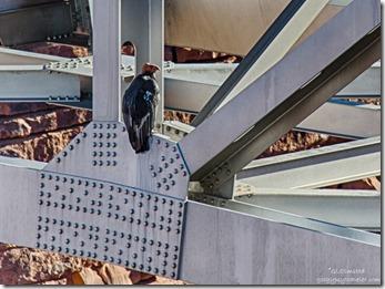 California Condor #54 girders Navajo bridge Marble Canyon Arizona