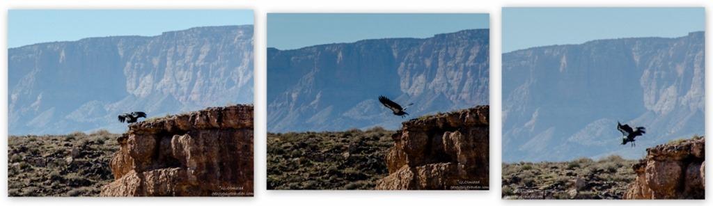California Condor Navajo Bridge Marble Canyon Glen Canyon National Recreation Area Arizona