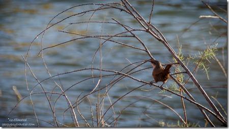 Cactus Wren Lee's Ferry Glen Canyon National Recreation Area Arizona
