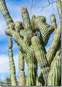 Crested organ pipe cactus near Darby Well Road BLM Ajo Arizona