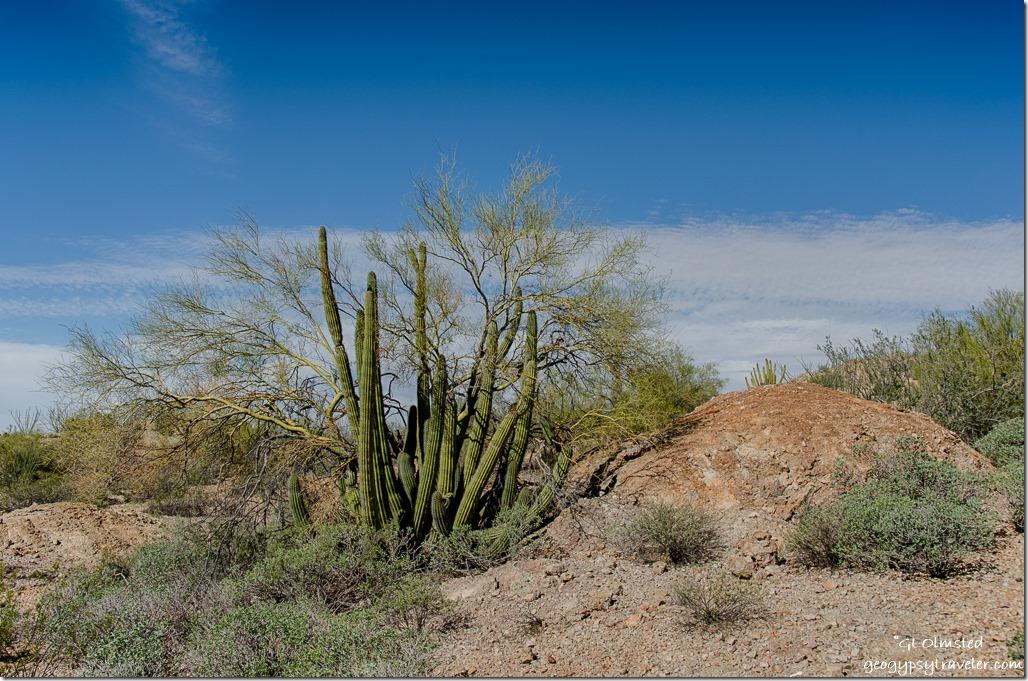 Organ pipe cactus & palo verde Darby Well Road BLM Ajo Arizona