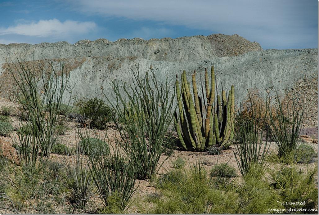Organ pipe cactus & ocotillo Darby Well Road BLM Ajo Arizona