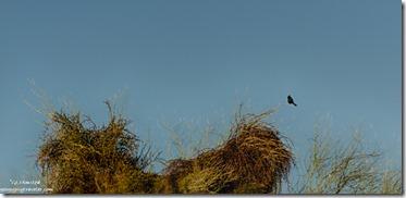 Phainopepla mistletoe palo verde Darby Well Road Ajo BLM Arizona