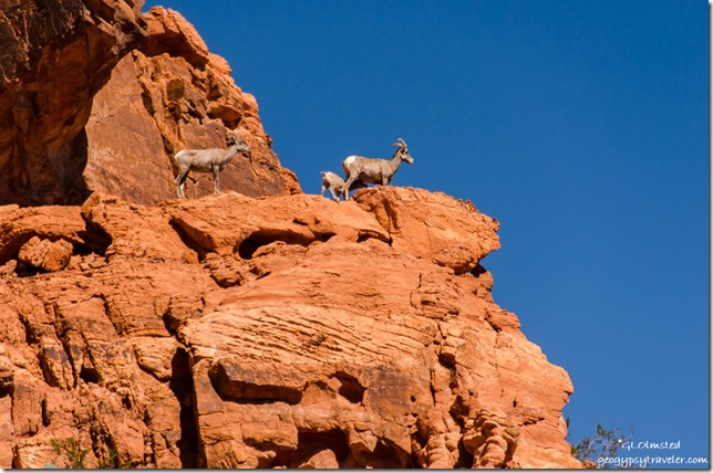 Big horned sheep Valley of Fire State Park Nevada