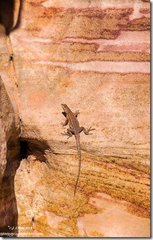 Lizard colorful sandstone Prospect trail Valley of Fire State Park Nevada