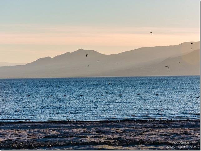 Birds in flight sunset Corvina Beach Salton Sea State Recreation Area California