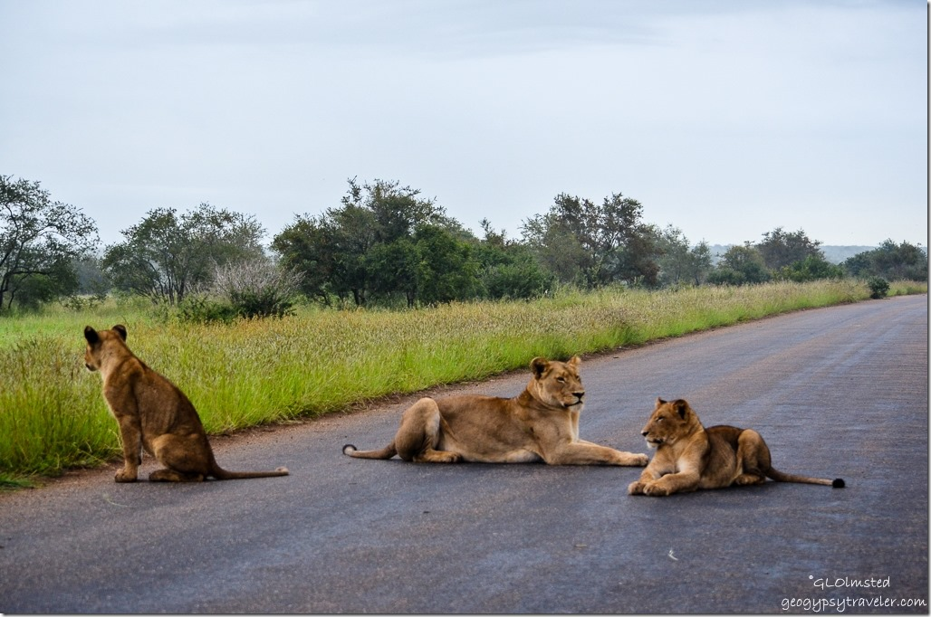 Lions Kruger National Park South Africa