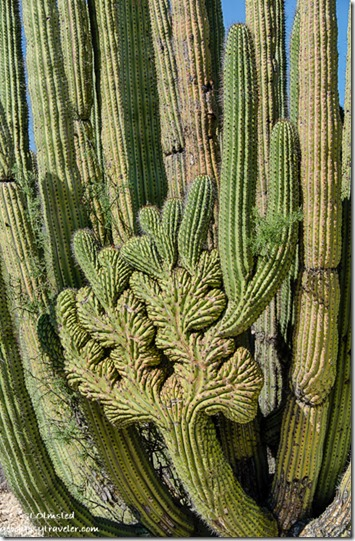 Crested organ pipe cactus Darby Well Road BLM Ajo Arizona