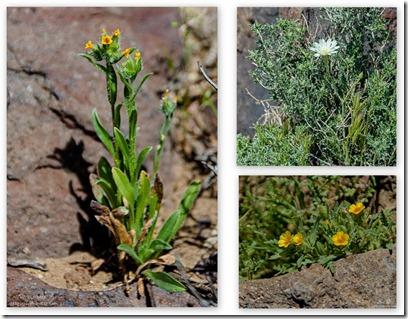 unidentified flowers Fossil Falls BLM Little Lake California