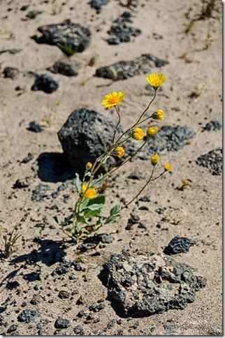 Desert daisy Mojave Trails National Monument California