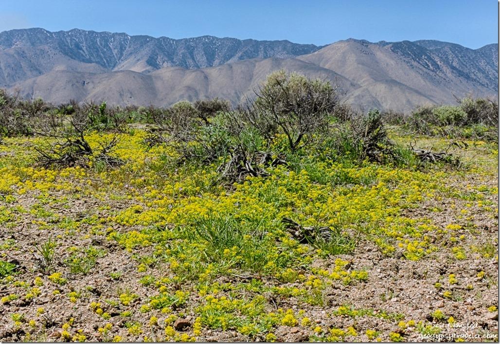 Yellow pepper-grass Sierras Fossil Falls BLM Little Lake California