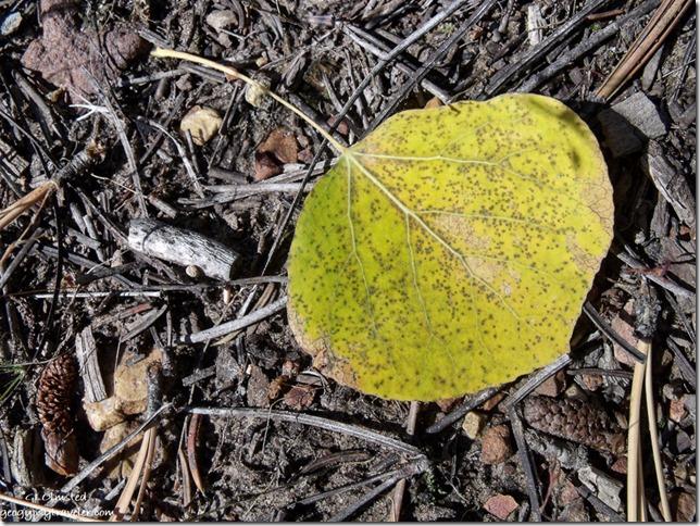 Golden aspen leaf Pleasant Valley Kaibab National Forest Arizona