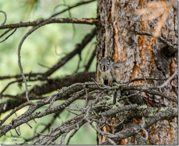 Tree squirrel Scenic Road North Rim Grand Canyon National Park Arizona