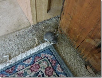 mouse in RV North Rim Grand Canyon National Park Arizona