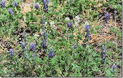 lupine Cape Final trail North Rim Grand Canyon National Park Arizona
