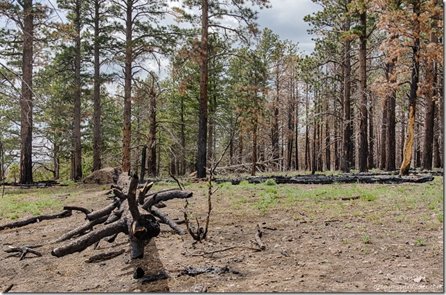 burnt trees from 2016 Fuller Fire Point Imperial North Rim Grand Canyon National Park Arizona