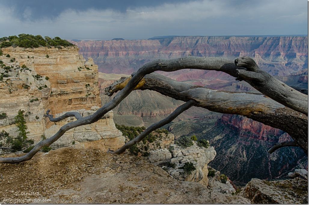 tree Sky Island Colorado River Walhalla overlook North Rim Grand Canyon National Park Arizona