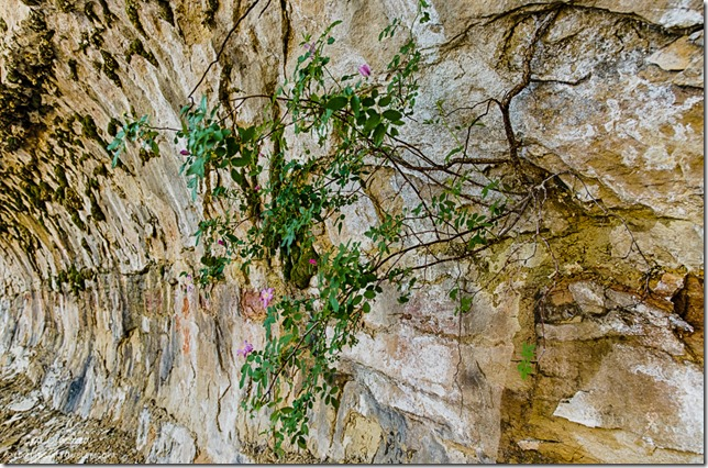 rose bush Cliff Spring trail North Rim Grand Canyon National Park Arizona