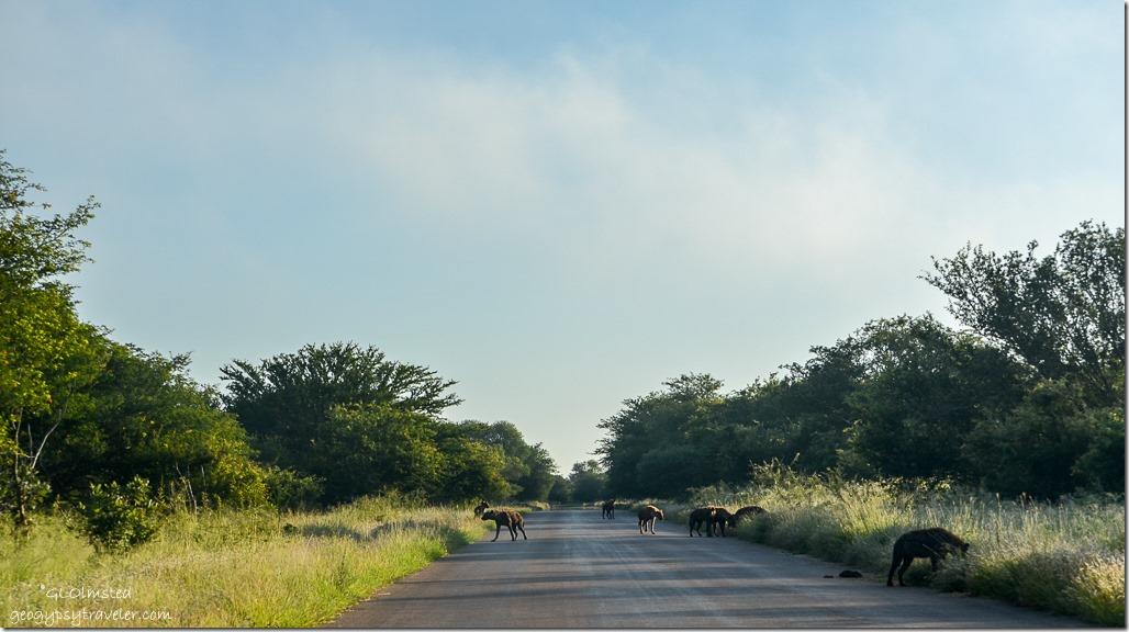 Hyenas Kruger National Park South Africa