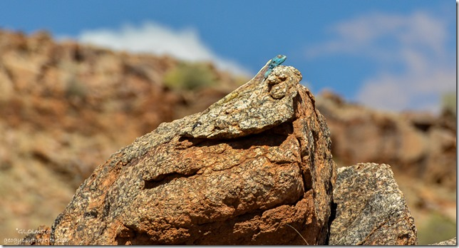 Southern Rock Agama Augrabies Falls National Park South Africa