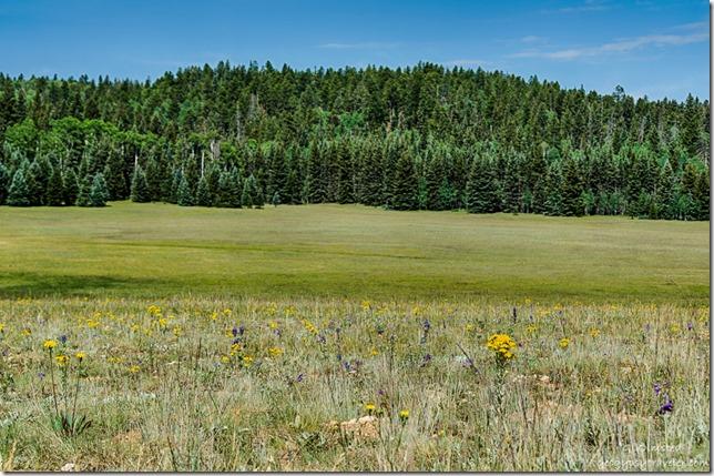 meadow wildflower trees Kaibab National Forest Arizona