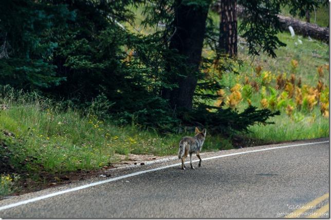 coyote Cape Royal Road North Rim Grand Canyon National Park Arizona