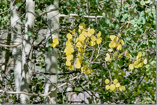 yellow aspen against green along Cape Royal Road North Rim Grand Canyon National Park Arizona