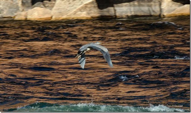 Blue Heron Colorado River Lee's Ferry Glen Canyon National Recreation Area Arizona