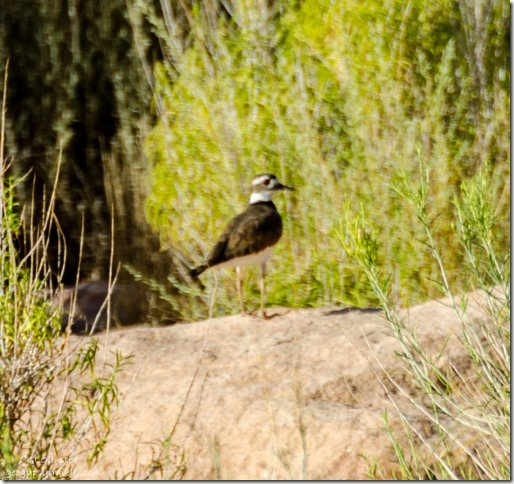 Killdeer Lee's Ferry Glen Canyon National Recreation Area Arizona