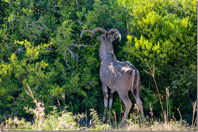 Kudu Addo Elephant National Park South Africa
