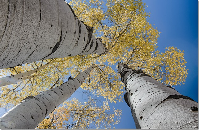 up golden aspen FR610 Kaibab National Forest Arizona