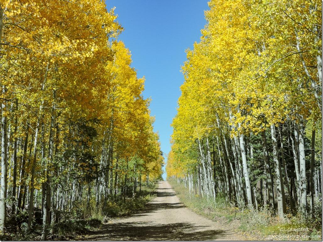 Golden aspen FR219 Kaibab National Forest Arizona