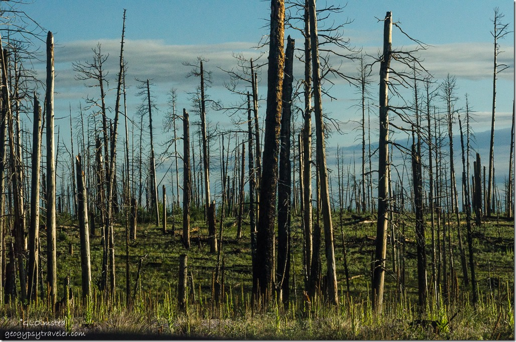 Last light shines on standing dead trees from 2006 Warm fire Kaibab National Forest Arizona