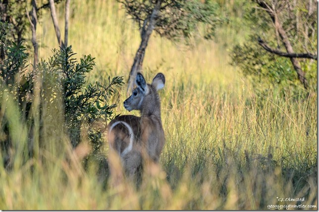 Young Waterbuck Kruger National Park South Africa