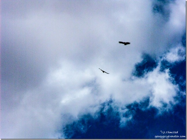 Condors soaring over Navajo Bridge Marble Canyon Arizona