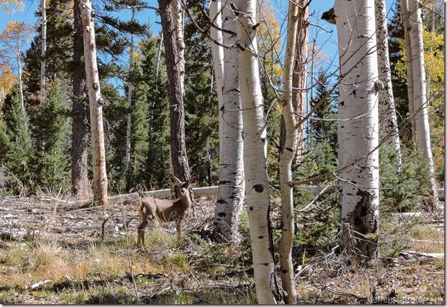 Mule deer FR610 Kaibab National Forest Arizona