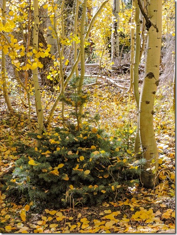 fall aspen leaves in everygreen FR611 Kaibab National Forest Arizona