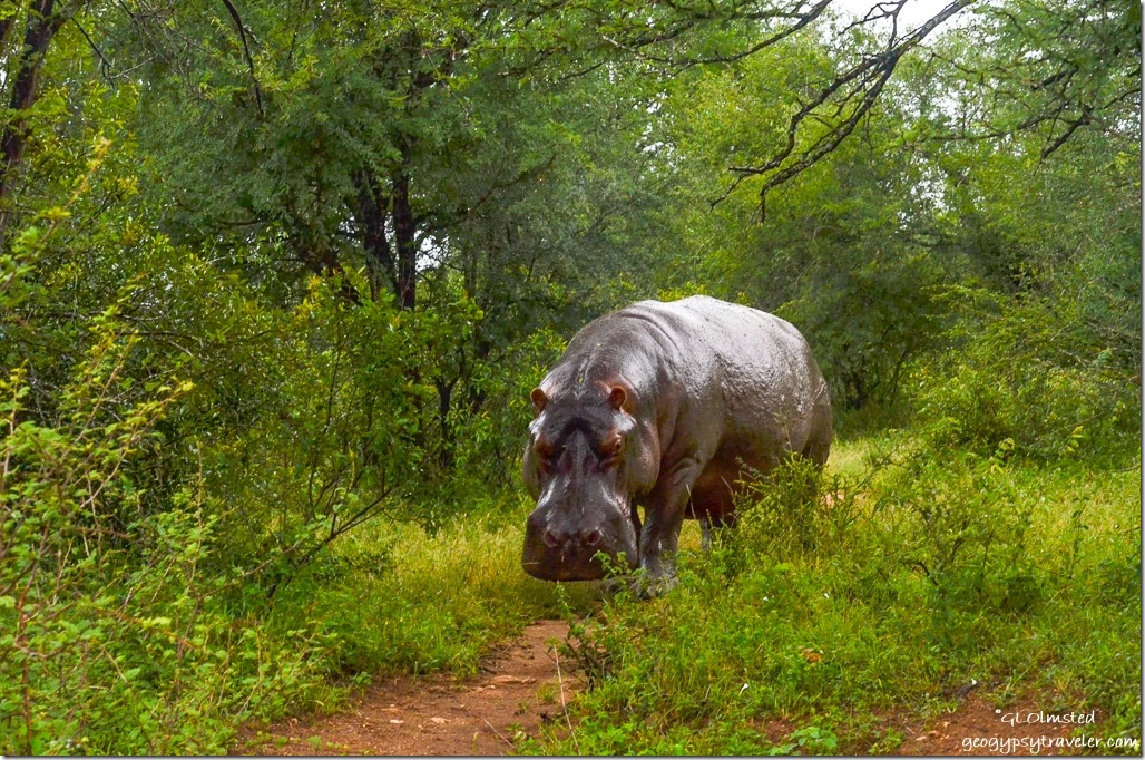 Hippo Kruger National Park South Africa