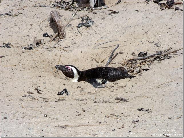 Penguin on nest Boulders Table Mountain National Park Simon's Town Cape Peninsula South Africa