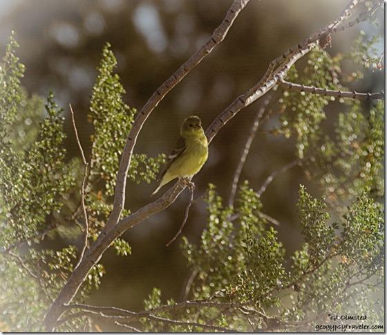 unidentified bird creosote bush Kelso Dunes Mojave National Preserve California