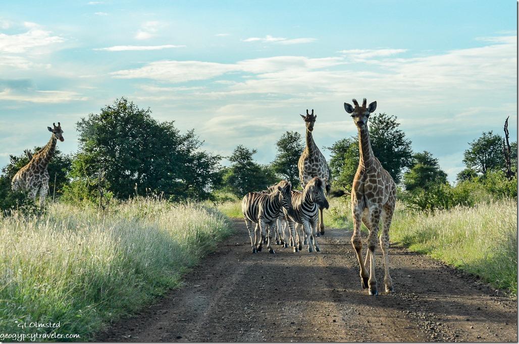 Zebra & Giraffe Kruger National Park South Africa