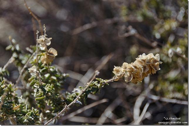 Unidentified plant Barker Dam trail Joshua Tree National Park California