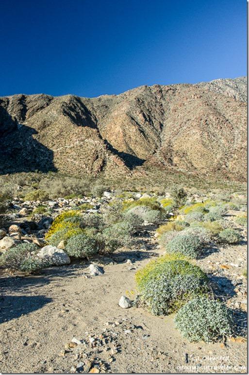 Flowering brittlebush Palm Canyon trail Anza Borrego Desert State Park California