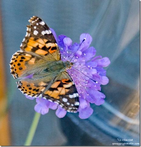 butterfly on flower Yarnell Arizona