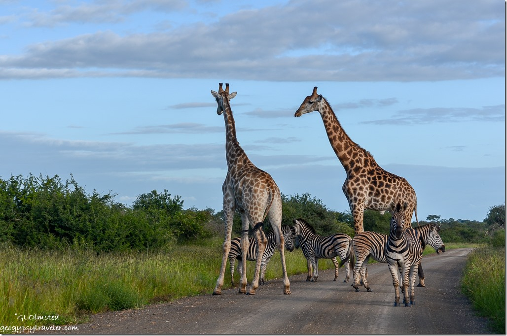 Giraffes & zebras Kruger Natonal Park South Africa