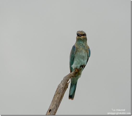 European Roller Kruger National Park South Africa