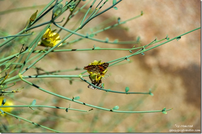 Painted Lady butterfly on Desert Broom at Echo Corner Augrabies Falls National Park South Africa