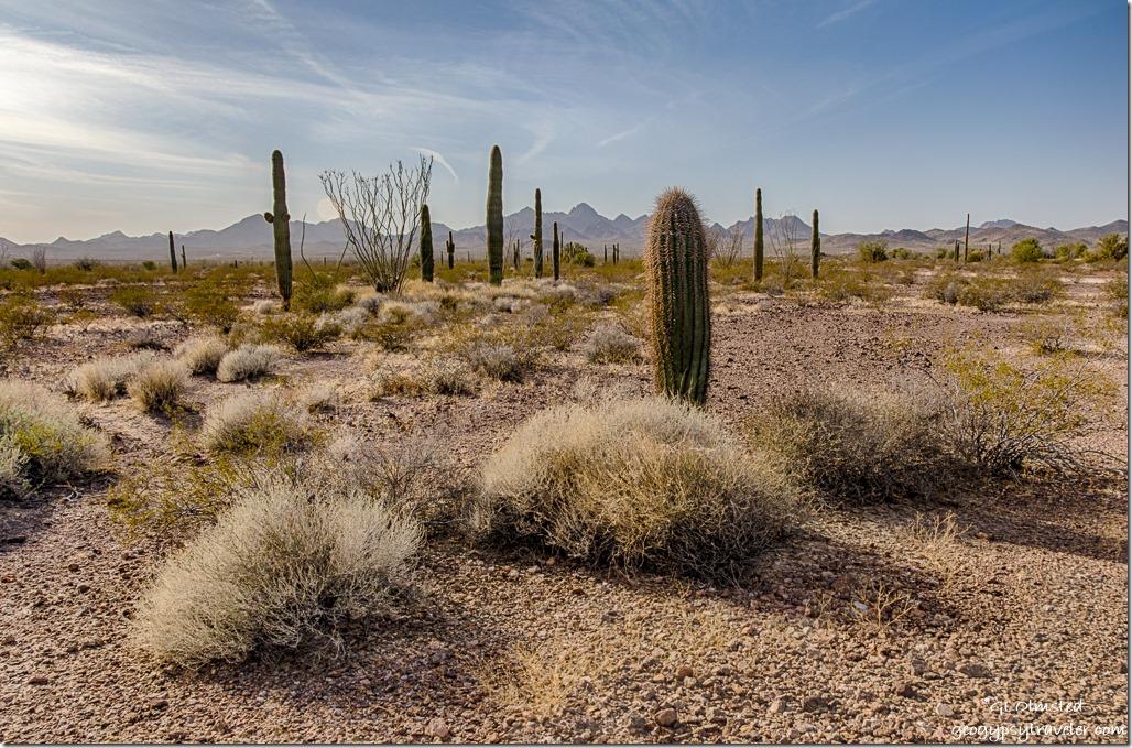 saguaros ocotillos Chocolate Mountains King Valley Road Kofa National Wildlife Refuge Arizona