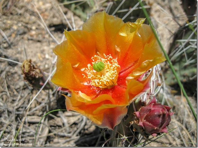 Prickly Pear Cactus Cape Royal North Rim Grand Canyon National Park Arizona