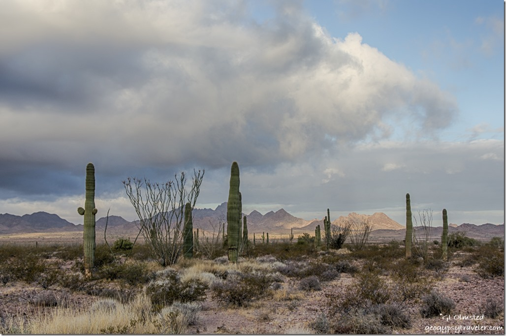 Saguaro Ocotillo first light Choclate Mountains West view clouds King Valley Kofa National Wildlife Refuge Arizona